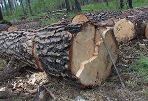 Почти 100 деревьев заготовил черный лесоруб недалеко от села Покровское