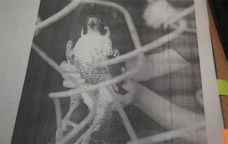На скамью подсудимых за продажу редкой птицы угодил тагильчанин