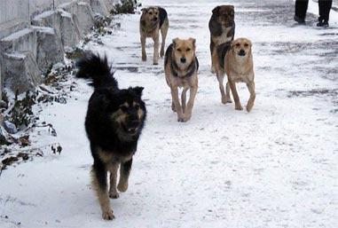 Стаи бродячих собак терроризируют жителей Красного Камня