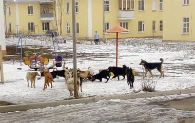 Стая бродячих собак терроризирует жителей Тагилстроя