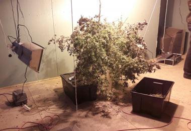 В центре Нижнего Тагила двое приятелей выращивали коноплю прямо в квартире