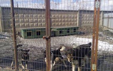 По факту нападения бродячих собак на школьницу прокуратура ведёт проверку