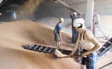 Прогноз по сбору зерна на 2013 год составляет 95 млн тонн