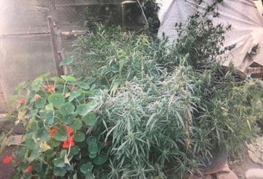 Житель пригорода Тагила выращивал коноплю на приусадебном участке