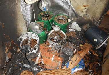 Тагильчанин разбил плантацию конопли на съёмной квартире